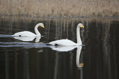Two whooper swans simming in the water in spring Royalty Free Stock Photo