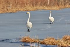 Two whooper swans walking on ice Stock Image
