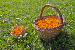 Two wicker baskets full of calendula blossoms in the meadow Royalty Free Stock Images