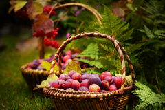 Two wicker baskets full of plums, fern in the background fall harvest, autumn Royalty Free Stock Photo