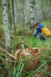 Baskets full of various kinds of mushrooms in a forest. Two wicker baskets full of various kinds of mushrooms in a forest Royalty Free Stock Photos