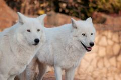Two wild alaskan tundra wolves. Canis lupus arctos. Polar wolf or white wolf. royalty free stock photos