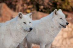 Two wild alaskan tundra wolves.Canis lupus arctos. Polar wolf or white wolf. Animals in wildlife stock photo