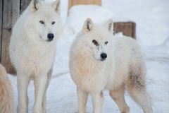 Two wild alaskan tundra wolves close up. Canis lupus arctos. Polar wolf or white wolf. Animals in wildlife stock photos