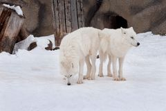 Two wild alaskan tundra wolves are playing on white snow. Canis lupus arctos. Polar wolf or white wolf. Animals in wildlife stock photo