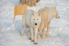 Two wild alaskan tundra wolves are playing on white snow. Canis lupus arctos. Polar wolf or white wolf. Animals in wildlife stock images