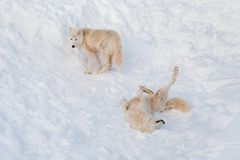 Two wild alaskan tundra wolves are playing on white snow. Canis lupus arctos. Polar wolf or white wolf. Animals in wildlife royalty free stock photos