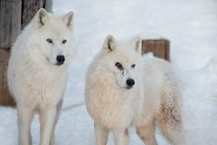 Two wild alaskan tundra wolves are standing on the white snow. Canis lupus arctos. Polar wolf or white wolf. Animals in wildlife royalty free stock image