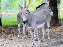 Two Wild Asses Royalty Free Stock Photography