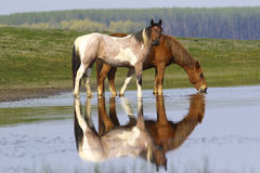 Two wild beautiful horses drinking water Stock Photo