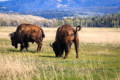 Two wild bison. Stock Image
