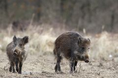 Two wild boars Royalty Free Stock Images