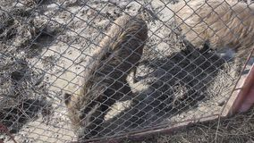 Two wild boars in mud stock footage