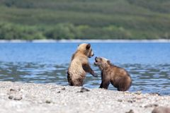 Two wild brown bear cubs play by the lake stock photo