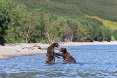 Two wild brown bears Ursus arctos grizzly fight in the lake stock photo
