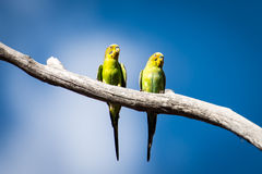 Two wild budgerigars in central Australia. The budgerigar (Melopsittacus undulatus), also known as common pet parakeet or shell parakeet and informally Stock Photography