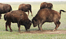 Two wild buffaloes fighting. Two wild buffaloes butting heads as they fight.  Genus:  Bison Royalty Free Stock Photography