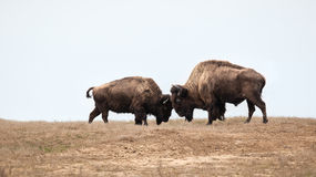 Two wild buffalos fighting. Bison fight royalty free stock photography