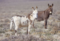 Two Wild Burros Stock Images