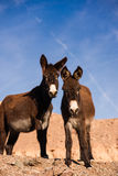 Two Wild Burros Royalty Free Stock Photography