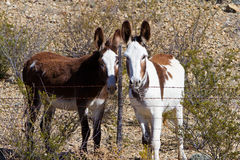 Two wild burros Royalty Free Stock Photos