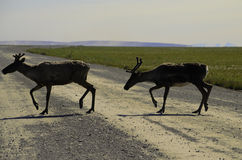 Two wild Caribou Royalty Free Stock Image