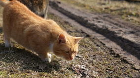Two wild cats outdoor. Behavior of two wild cats outdoor. Spring stock video footage