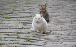 Two wild cats Royalty Free Stock Images