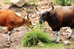 Two Wild Cattle eating grass Stock Photos