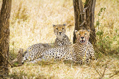 Two wild cheetah rests after meal in Serengeti. Two african cheetah looking for enemies after meal at the Savannah in Serengeti, Tanzania Royalty Free Stock Photos