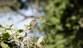 Two Wild Cinnamon-chested Bee-Eaters Merops oreobates in Tanzania Royalty Free Stock Images
