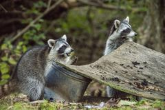 Two Wild city Raccoons scrounge for food. Royalty Free Stock Photography