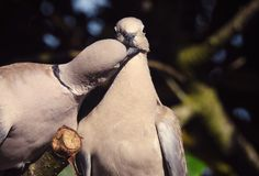 Collared Doves in Love. Two wild collared doves perch in a tree together grooming one another and showing affection to each other stock photography