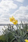 Two wild daffodils Royalty Free Stock Photos