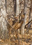 Two wild deer in forest Royalty Free Stock Photography