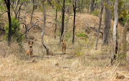 Two wild dingo`s in the dry bush Royalty Free Stock Photo