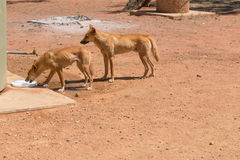 Two wild dingos drinking water at camp ground Royalty Free Stock Photo