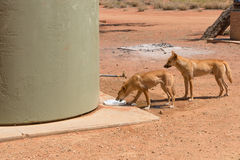 Two wild dingos drinking water at camp ground Royalty Free Stock Image
