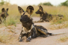 Two Wild Dog lying down Royalty Free Stock Photo