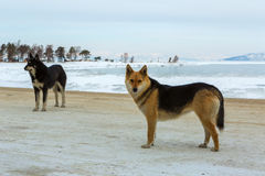 Two wild dogs on background of winter lake Baikal. Royalty Free Stock Photography