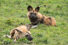 Two wild dogs in the grass Stock Images