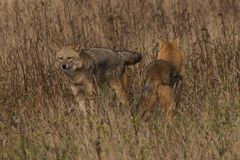 Two wild dogs. In a grassy meadow Royalty Free Stock Photography