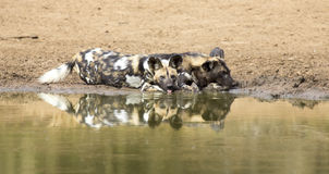 Two wild dogs rest next to a waterhole to drink water Royalty Free Stock Photography