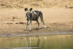 Two wild dogs rest next to a waterhole to drink water Stock Images