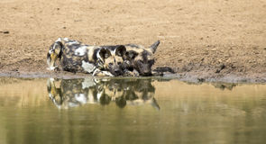 Two wild dogs rest next to a waterhole to drink water Stock Photos