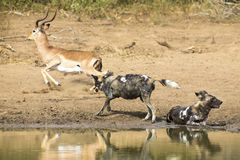 Two wild dogs rest next to a waterhole to drink water Stock Photography