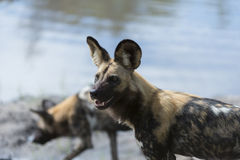 Two Wild Dogs by the water. Two African Wild Dogs by the water, they were separated from the pack and were searching for them Royalty Free Stock Photo