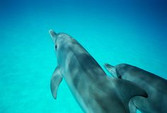 Two Wild Dolphins. Calves swimming into view from above, underwater photography in Bahamas Stock Photos