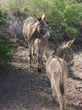 Two Wild Donkeys with their Foal Stock Photo