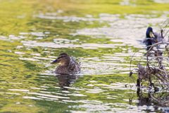 Two wild duck, female floats in the river. Wild duck, female floats in the river Stock Image